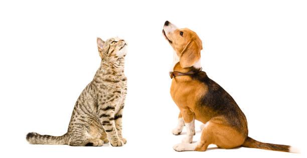 Cat scottish straight and beagle dog sitting together picture id898916196?b=1&k=6&m=898916196&s=612x612&w=0&h=2ol6mdgnhemmzximup0rfohnh1rvkmigjpu1jfrn61a=