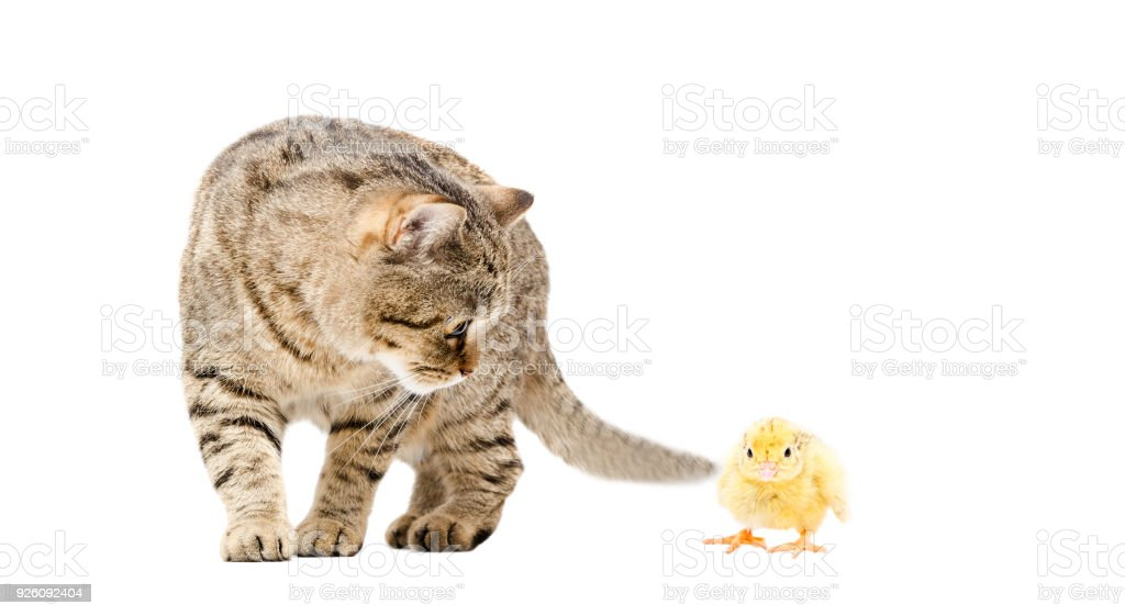 Cat Scottish Straight and chick stock photo