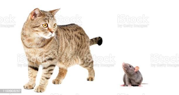 Cat scottish straight and gray rat picture id1153903257?b=1&k=6&m=1153903257&s=612x612&h=o8llrfxjjfamxwku8ijk0qalc3toxue zp3hat6h2tk=