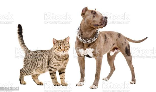 Cat scottish straight and pitbull standing together isolated on white picture id1215944959?b=1&k=6&m=1215944959&s=612x612&h= er5kskey2j0ofuup4gkmbbfpgju5amkosraki8aw7o=
