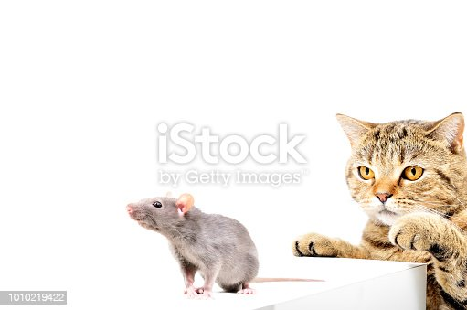 Cat Scottish Straight hunts gray rat. Isolated on white background