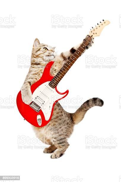 Cat scottish straight playing on electric guitar picture id899303916?b=1&k=6&m=899303916&s=612x612&h=agppjqhshjhshnewqoysw3akqxy8vebgomglavyffqq=
