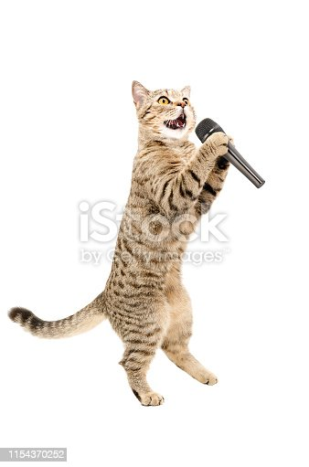 Cat Scottish Straight standing on hind legs with microphone. Isolated on white background