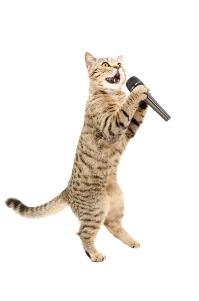 Cat scottish straight standing on hind legs with microphone picture id1154370252?b=1&k=6&m=1154370252&s=612x612&w=0&h=kwjnvu07geingere8 bfmaxh8xumonly3jaqem0caiq=