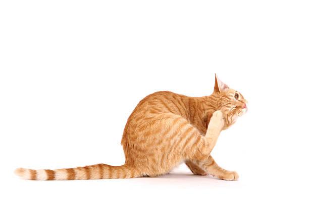 Cat scratching fleas picture id182787275?b=1&k=6&m=182787275&s=612x612&w=0&h=jj2dypayfunmmzf2unpirsoxhw4umtfi70wsnuojnuk=