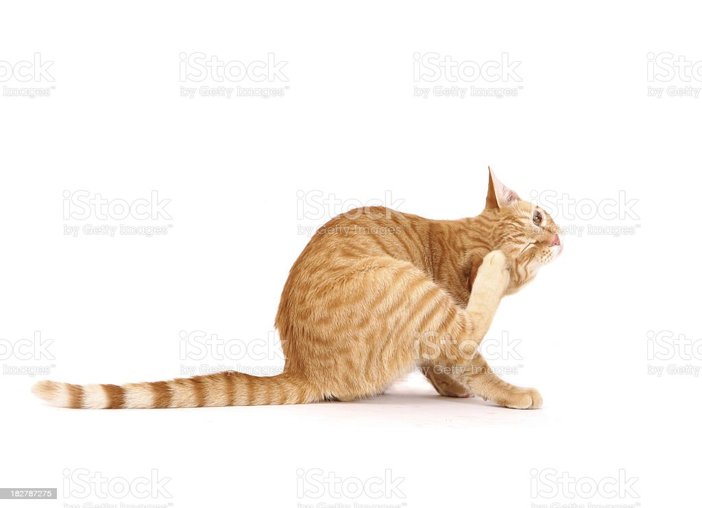 Cat Scratching Fleas stock photo