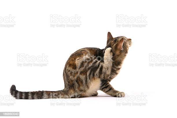 Cat scratching fleas picture id186860040?b=1&k=6&m=186860040&s=612x612&h=l6hb0wdtumnumojrsgdf0asavxhtqd00 nx jnjmidi=