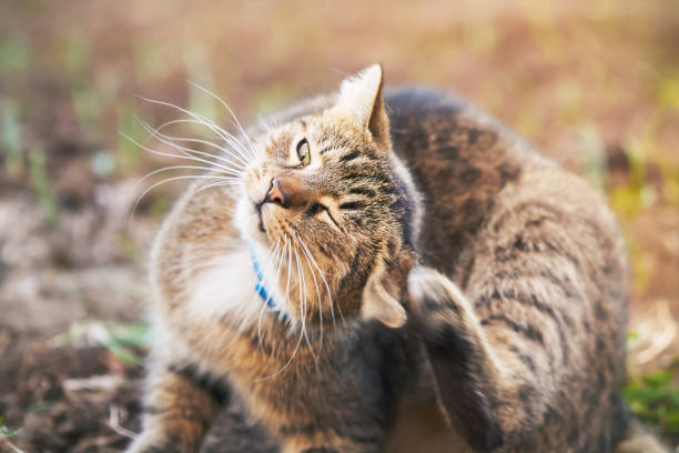 cat scratching head - scratching stock photos and pictures