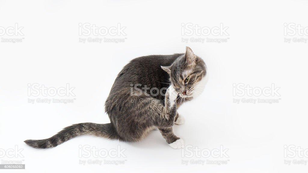 cat scratching its head – Foto