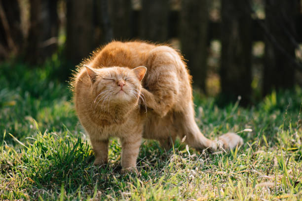 Cat scratching outdoor. Cute red cat. stock photo