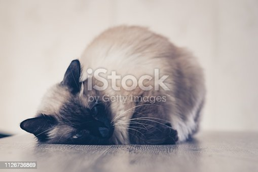cat sick cute kitten lying pet animal. isolated.
