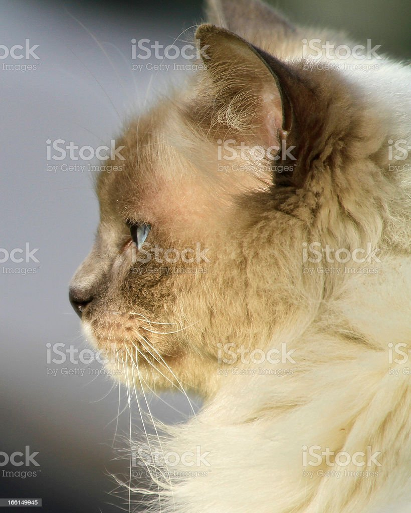 Cat Side view royalty-free stock photo