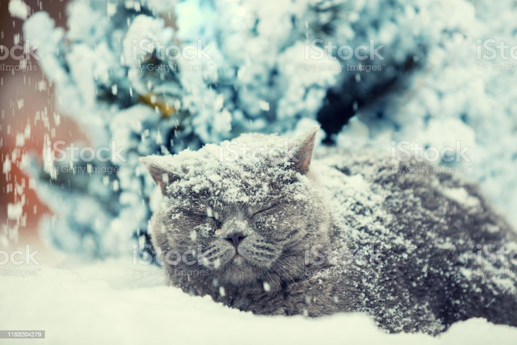 Cat Siting In Snow During Blizzard Near Fir Tree In Winter Cat Covered With Snow Stock Photo Download Image Now Istock