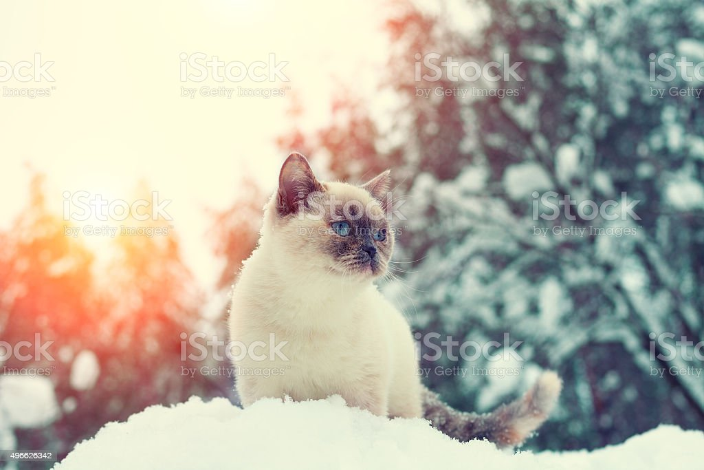 Cat siting in snowdrift in winter forest stock photo