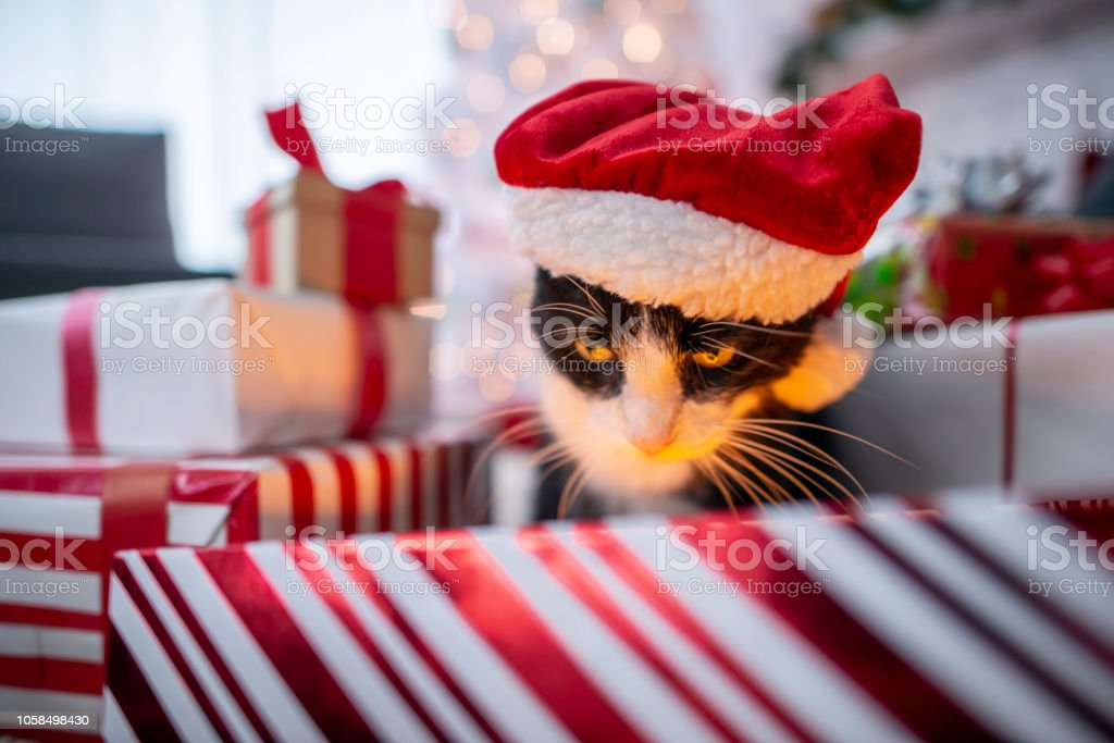 A furry adorable black a white cat looks at a shiny light in a...