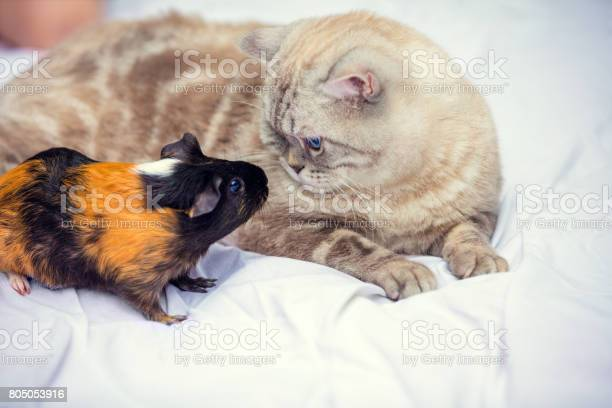 Cat sits near a guinea pig and looks at each other picture id805053916?b=1&k=6&m=805053916&s=612x612&h=mgvegyhd7s p2mcyugogwqyttja2y7hmqzebrafx y8=