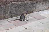 Cat (Felis Catus), Often Referred to as the Domestic Cat to Distinguish From Other Felids and Felines, is a Small, Typically Furry, Carnivorous Mammal. It is Often Called House Cat When Kept as Indoor Pet or Feral / Feral Domestic Cat When Wild.