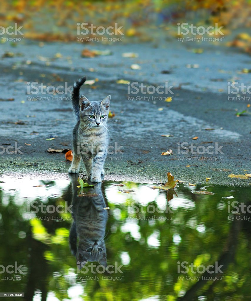 cat sitting at the edge of rain puddle stock photo