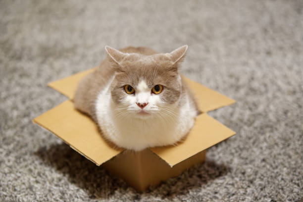 Cat sitting in a small cardboard box and looking towards camera stock photo