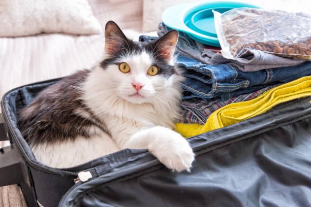 katze sitzt im koffer - katzengeschirr stock-fotos und bilder
