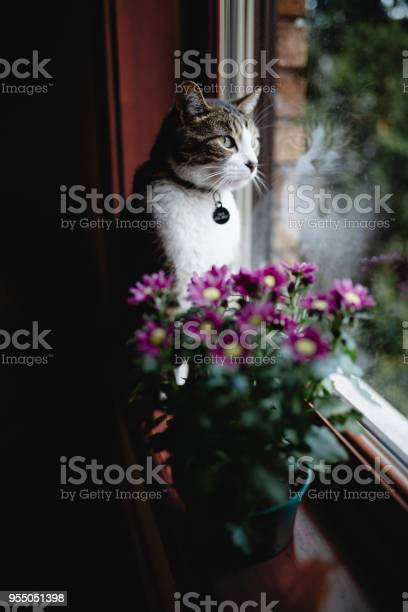 Cat sitting on a window sill with flowers picture id955051398?b=1&k=6&m=955051398&s=612x612&h=kuxk1ugctbp6w2oizxlzirgdiefs1fvqyajn3yave5m=