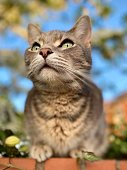 Pet domestic mackerel tabby cat staring intently from top of garden wall. Shot from below.