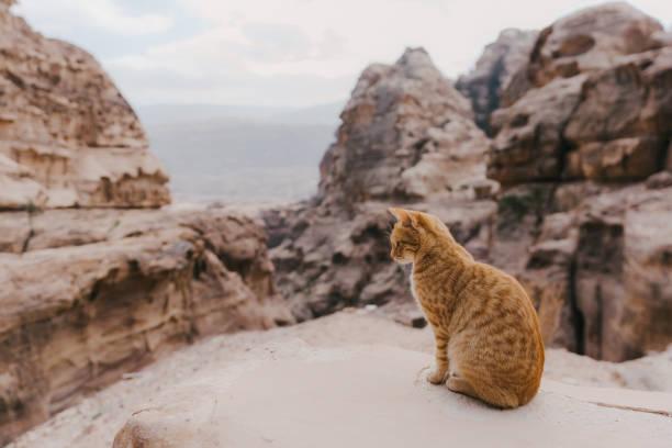 Cat sitting on rock near petra picture id1126410243?b=1&k=6&m=1126410243&s=612x612&w=0&h=k6wd 9ila tvmvevhnklmmql ocu2ycmx4z7xbc8bdw=