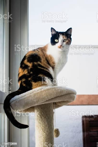 Cat sitting on the cats playground at home cats tree indoor picture id1194720699?b=1&k=6&m=1194720699&s=612x612&h=jqbcut7sky 7hq7rnfwkdbwwbkrrxa6u3ziv09ppnzg=