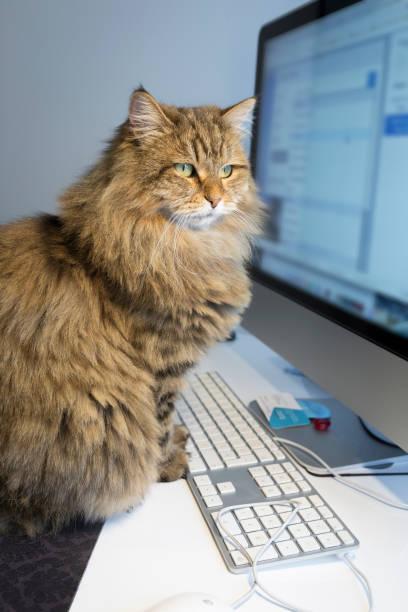 Cat sitting on the desk in front of computer picture id1081087174?b=1&k=6&m=1081087174&s=612x612&w=0&h=wydt x1guzjdyqdr6z8o0zoohgrs0ui6u1uoczq50ks=