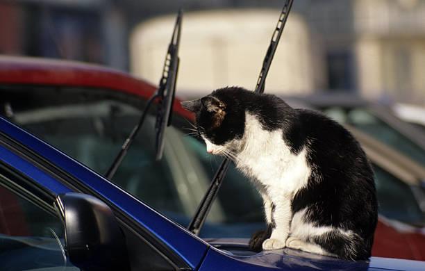 katze sitzt auf der kapuze ein auto, istanbul, türkei - suche katze stock-fotos und bilder