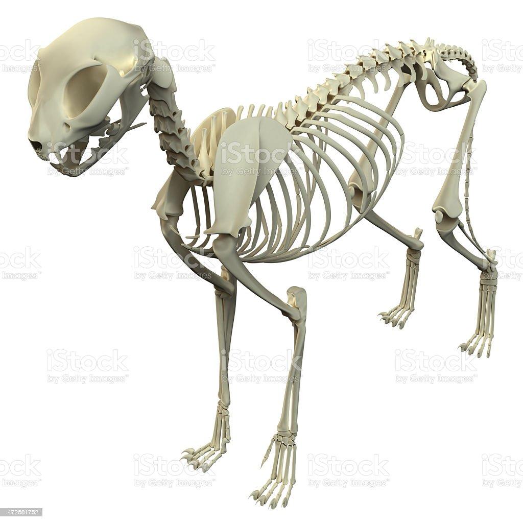 Katze Skelett Anatomieanatomie Der Ein Skelett Cat Stock-Fotografie ...
