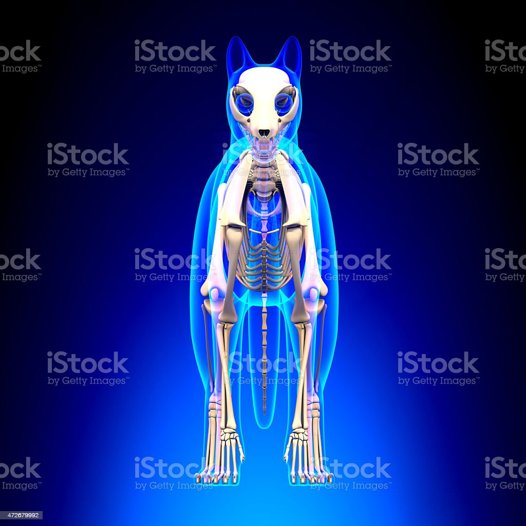 Cat Skeleton Anatomy - Cat Skeleton - front view stock photo