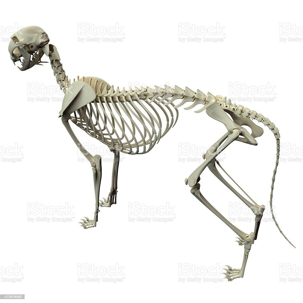 Cat Skelett Anatomiekatze Skelettseitenansicht Stock-Fotografie und ...