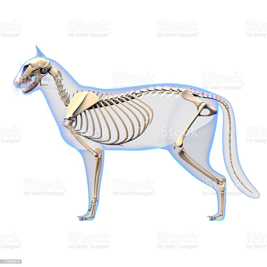 Cat Skeleton Anatomy - Cat Skeleton - side view stock photo