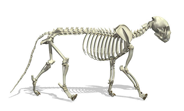 Cat Skeleton 3D render of a cat skeleton. cat skeleton stock pictures, royalty-free photos & images