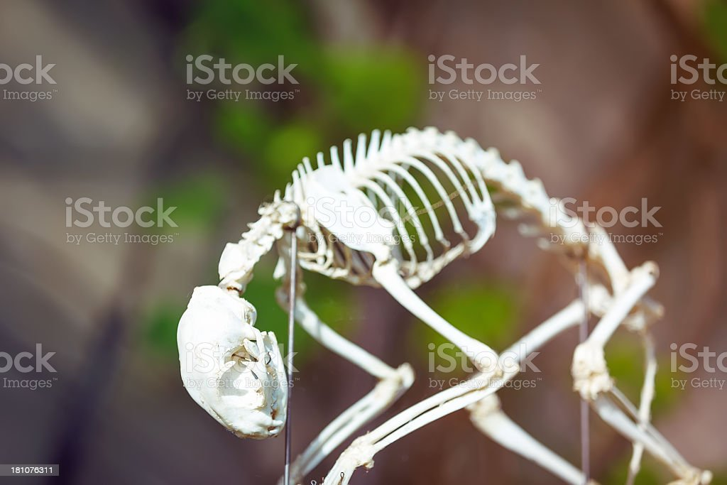 Cat Skeleton royalty-free stock photo