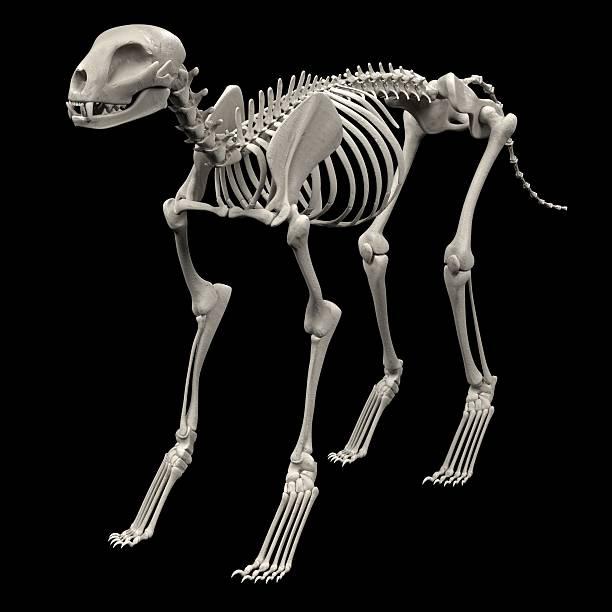 cat skeleton realistic 3d render of cat skeleton cat skeleton stock pictures, royalty-free photos & images