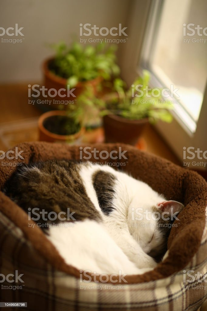 cute tom mail cat sleeping close up photo in cat bed with pot plants...