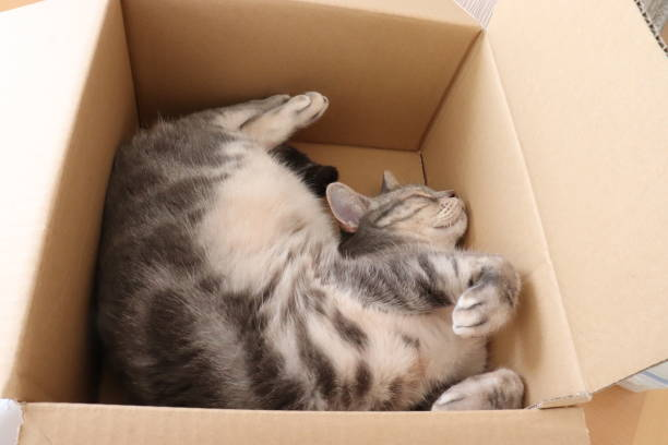 Cat sleeping in a cardboard box picture id1218473359?b=1&k=6&m=1218473359&s=612x612&w=0&h=fevyamgc1nqnd3zykfxvjybp8lpgevtxjp4mq1pqmmc=