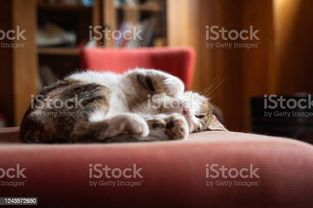 Cat sleeping on a pillow picture id1243572650?b=1&k=6&m=1243572650&s=612x612&h=5 bo37tnre rxz3sionxqw2lmh2girhi ismbpa73cy=