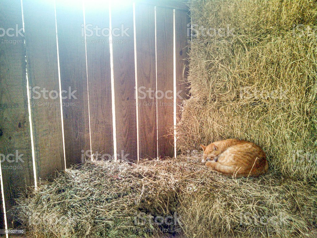 Cat Sleeping on Hay stock photo