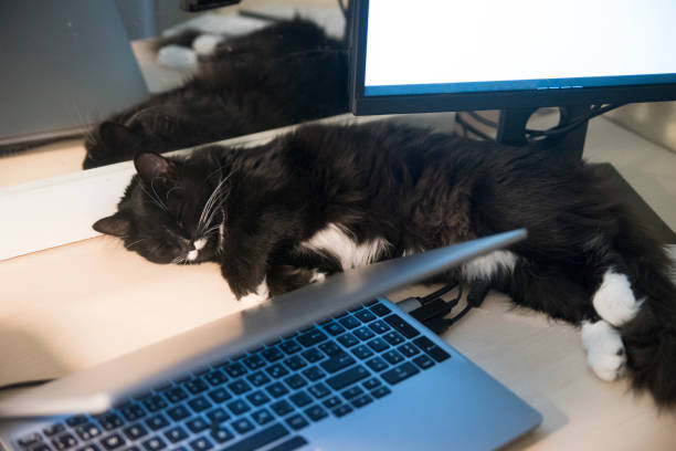 Cat sleeping on home desk between computers. stock photo