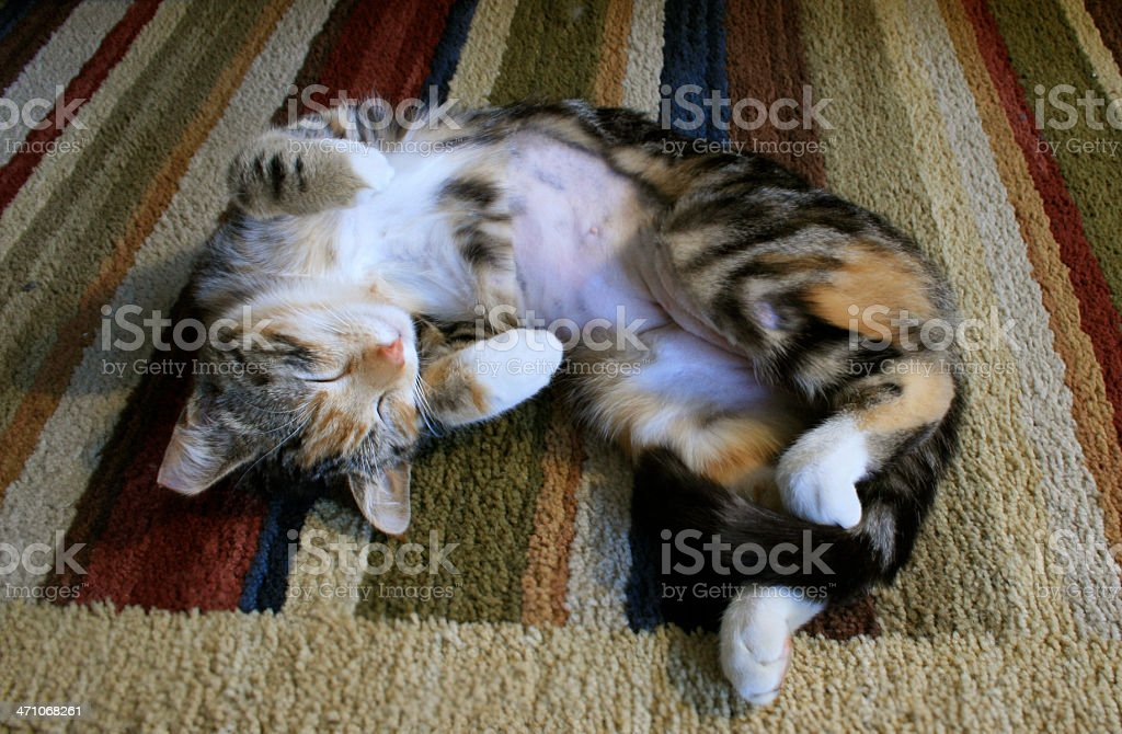 Cat sleeping on striped rug after beeing spayed royalty-free stock photo