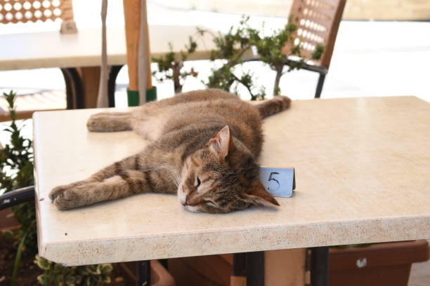Cat sleeping on table in restaurant picture id1131129351?b=1&k=6&m=1131129351&s=612x612&w=0&h=co8gsvpkws yw msd7z9v3bzvakelnan5strpidpcnm=
