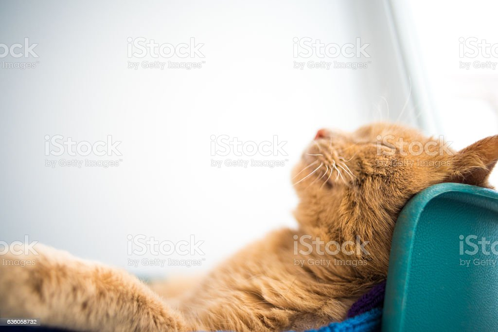 Cat sleeps on his back like a human, Smiling stock photo