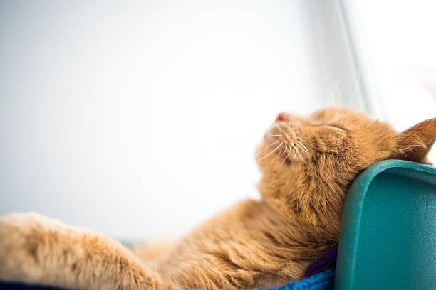 Cat sleeps on his back like a human, Smiling - foto de stock