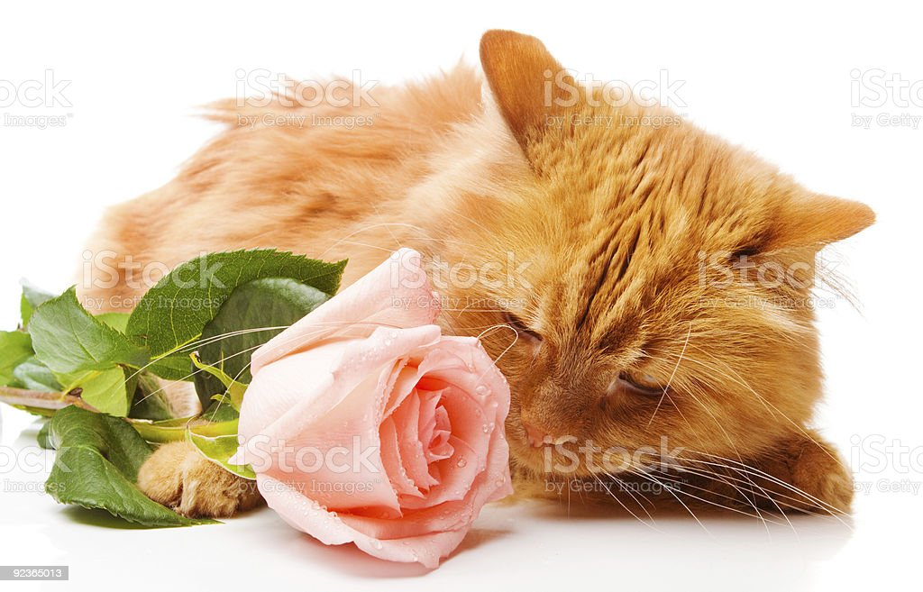 Cat smelling a rose royalty-free stock photo
