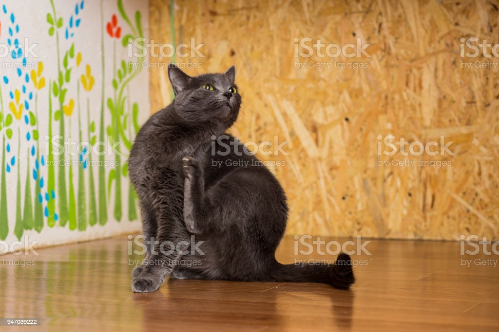 Cat smoky color with green eyes sitting on the floor and itches stock photo