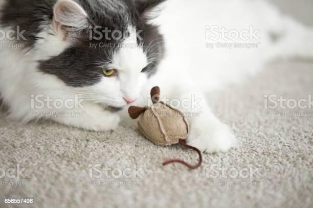 Cat sniffing toy mouse picture id658557496?b=1&k=6&m=658557496&s=612x612&h=sxvweh2ockvivezs1uazwvwsr2xwiz6tanau14xmecg=