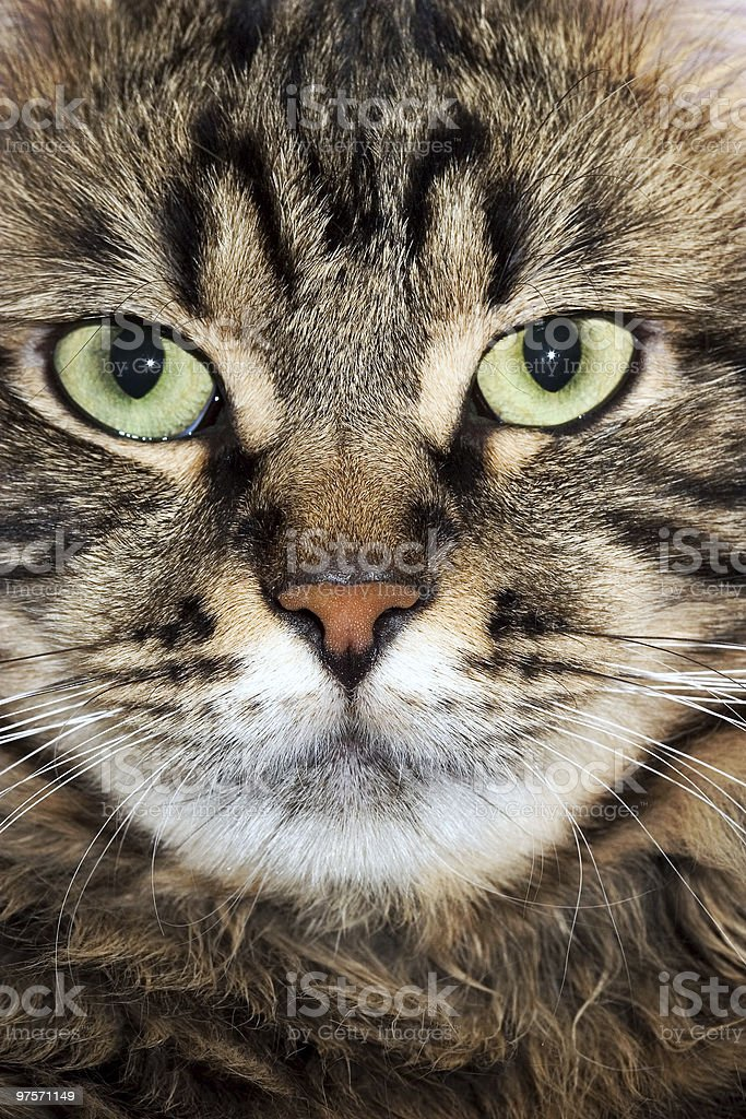 cat snout royalty-free stock photo